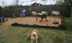 Honey-Sun Apiary guard dog Lucky on duty