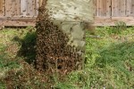 the swarm after removal from the tree - 10 April 2011