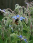 Bee on Borage - June 2011