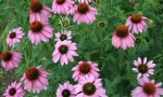 Coneflowers in Bloom - June 2011